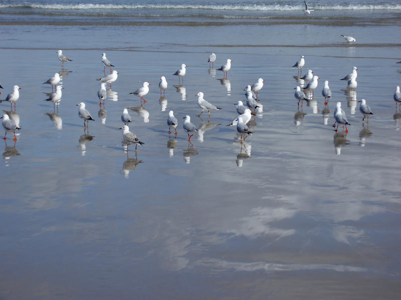 seagulls hunting for worms on a beach