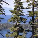 3089-Tahoe pines