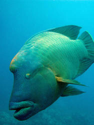 3362-humphead wrasse