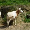4776   antelope