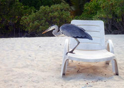 4535   beach heron maldives