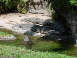 4804   alligators