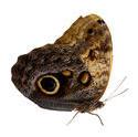 4992   Exotic Moth