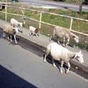 4911   goats
