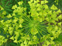 4520   green yellow foliage