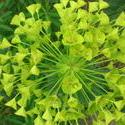 4520   green yellow foliage