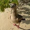 4526   maldivian beach duck