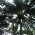 4528   maldivian sky palm
