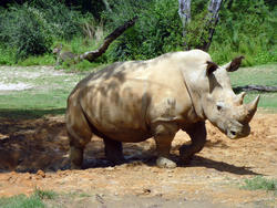 4779   rhino