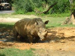 4780   rhino in mud