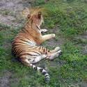 4781   tiger