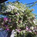 4891   tropical climbing flowers
