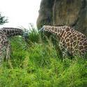 4782   giraffe