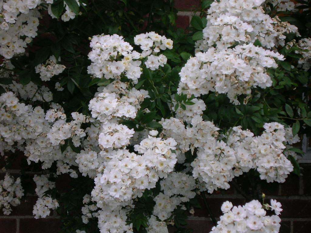 Free stock photo 4519 white flowers freeimageslive psmall white flowersp mightylinksfo