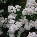 4519   white flowers