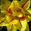 4502   yellow fancy tulip