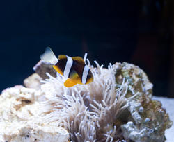 7391   Colourful anemonefish