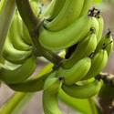 6314   Cluster of fresh bananas