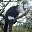 6252   Madagascan lemur in a tree