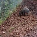 6253   Wild boar piglet