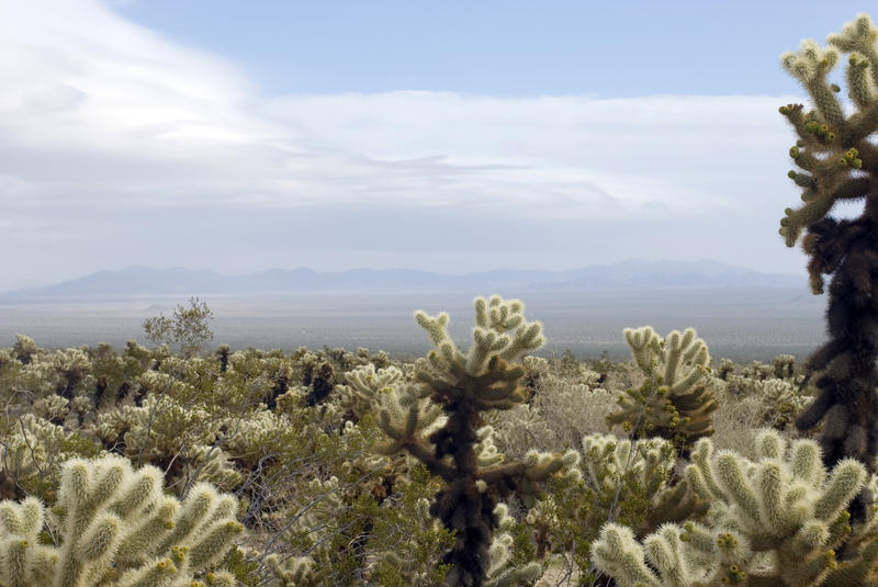 cholla cactus landscape, joshua tree national park, california