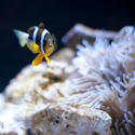 7420   Anemonefish near an anemone