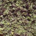 5240   dried origano