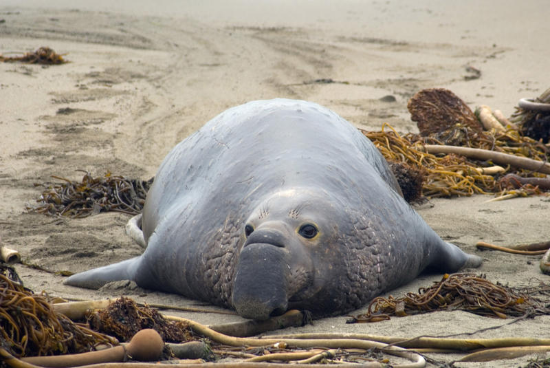 sleepy elephant seal on the beach at Año Nuevo State Reserve, calfiornia