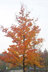 5166   Single tree with yellow leaves