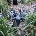 6368   Humbolt penguins walking to a pond