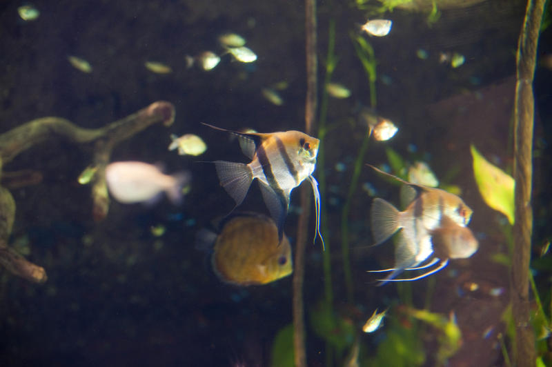 Colourful freshwater angelfish swimming in an aquarium - these fish breed well in captivity forming monogamous pairs and therefore make excellent aquarium pets