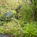 6263   Eastern long neck turtle