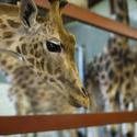 6265   Giraffe in captivity