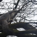 6398   Grey lemur climbing a tree