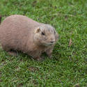 6375   Fat brown guinea pig