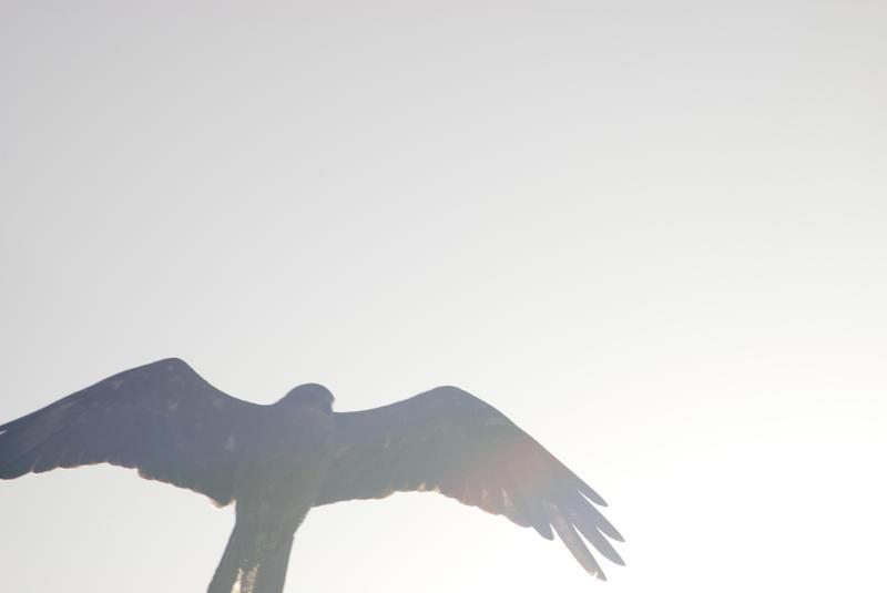6348   Hawk flying through sun flare