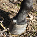 6400   Closeup of a horse hoof