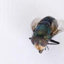 6378   Macro of a dead fly