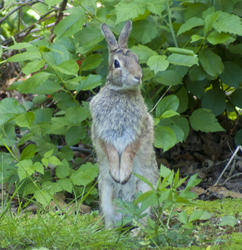 5285   Jack Rabbit