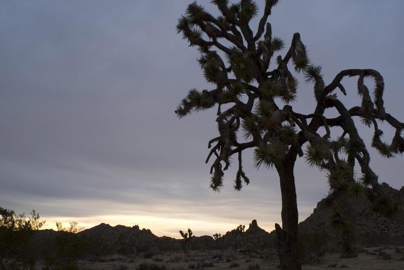5642   joshua tree silhouette