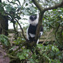 6269   Black and white lemur in a tree