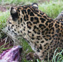 6405   Leopard eating in captivity