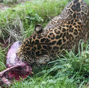 6407   Leopard gnawing on a carcass
