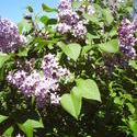 5278   lilac flowers