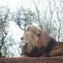 6271   Proud male lion