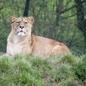6408   Lioness in captivity