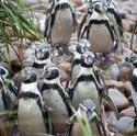 6353   Flock of Humbolt penguins