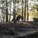 6083   Wild Nara Deer