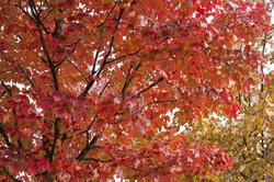 5170   Colourful Red Autumn Foliage