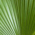 6309   Abstract background palm frond